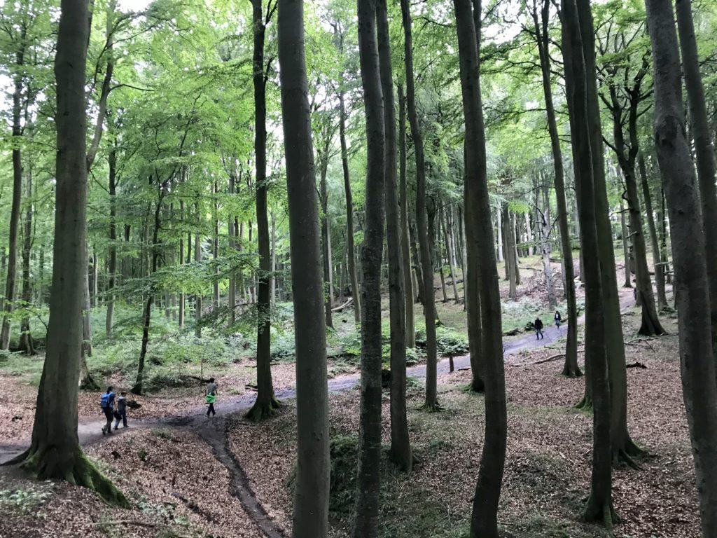 Kreidefelsen Rügen wandern: Durch den besonders schönen Buchenwald